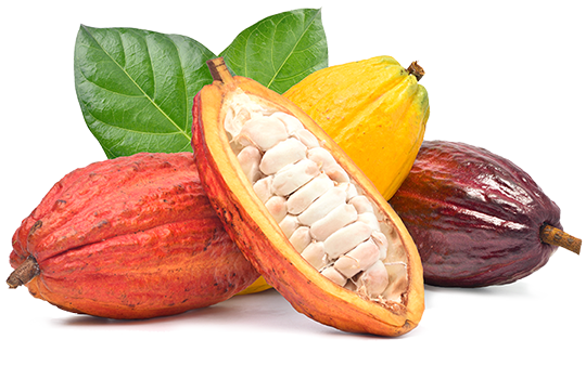 Quality cacao pods from which cocoa nibs are made.  Fine flavor cacao makes fine chocolate.